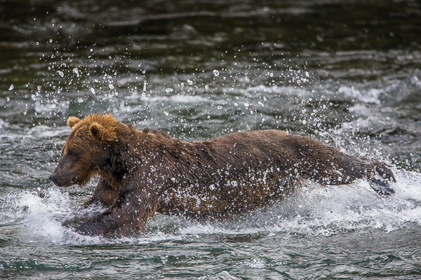Diver Down,Alaska,Brooks Falls,Salmon Fishing,Katmai National Park,Grizzly,Water, bear, photo