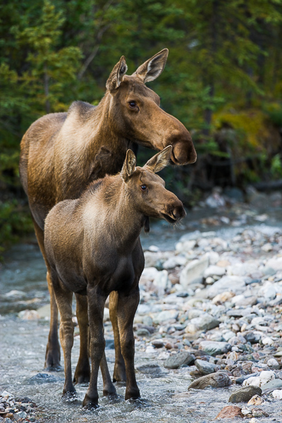 Staying Close, Alaska, Denali, park, river, water, vertical, Calf, River, Ear, Survival, moose, photo