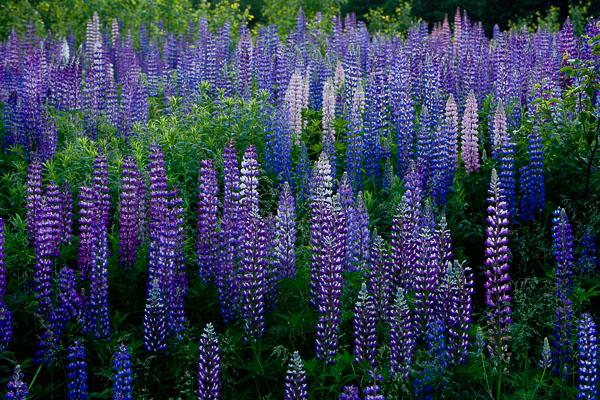 Purple Lupine,purple,lupine,Nova scotia,summer,colors.horizontal, photo