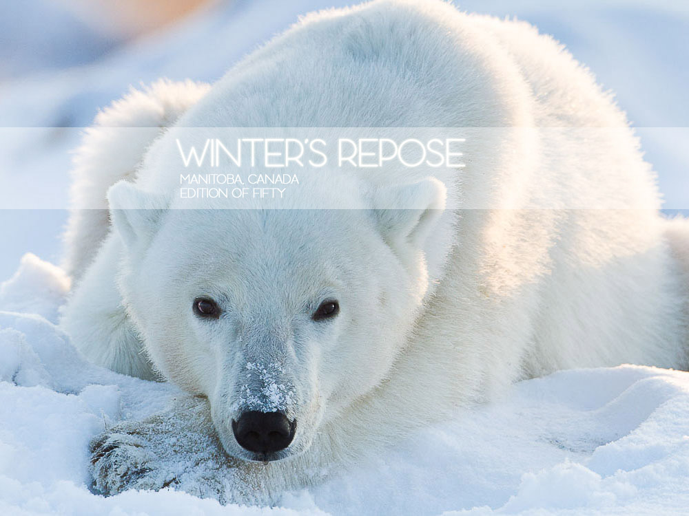 Winter's Repose, Manitoba, Canada, Ursus maritimus, blue, polar bear, white, wildlife, Horizontal