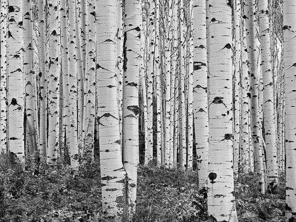 Eyes Flying, Black and White, Colorado, horizontal, Tree, Grove, BW, B&W, Black, White, photo