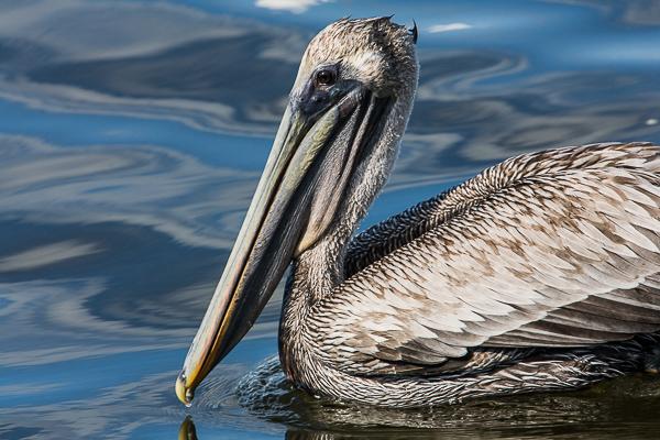 Majestic Pelican,JN Ding Darling National Wildlife Refuge, Florida, Brown Pelican, Bird,, photo