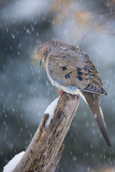 Mourning dove takes a rest during a snow storm.  Surviving the cold and snow these winged friends bring a smile to your face...