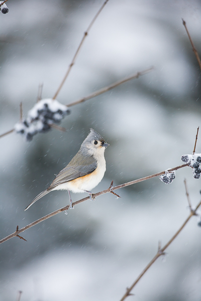 Tiny Tufted Titmouse toughs out the New England winters with bravo.