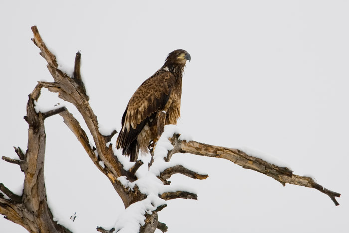 Snowy Perch,Animal,Bald Eagle,Bird,Diurnal Raptors,Horizontal,Wildlife,perched, photo