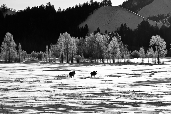 Moose on the Move, Grand Teton National Park, Snow, Cold, Winter, , BW, B&W, Black, White, photo