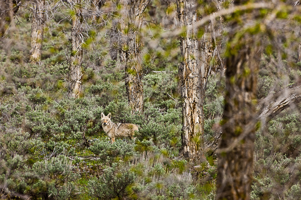 Coyote of Grand Teton National Park off on his morning hunt.