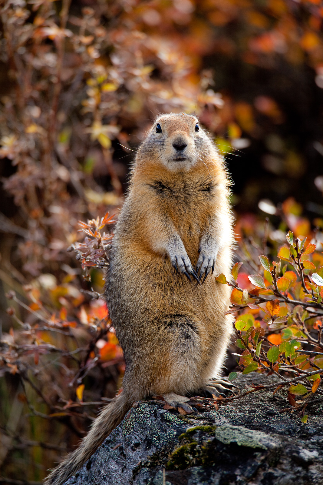 Artic Squirrel,Artic Squirrel,Fall, Wildlife,Denali National Park, Alaska, photo