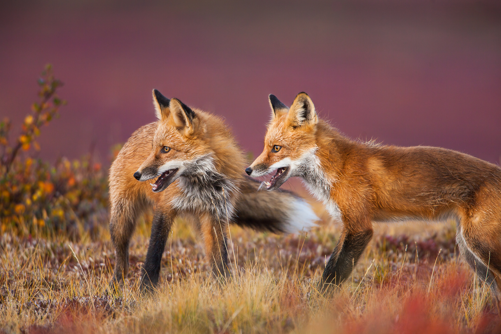 All smiles are found on these two red tail foxes as they take a break from a playful game of marco-polo in the tundra foliage...