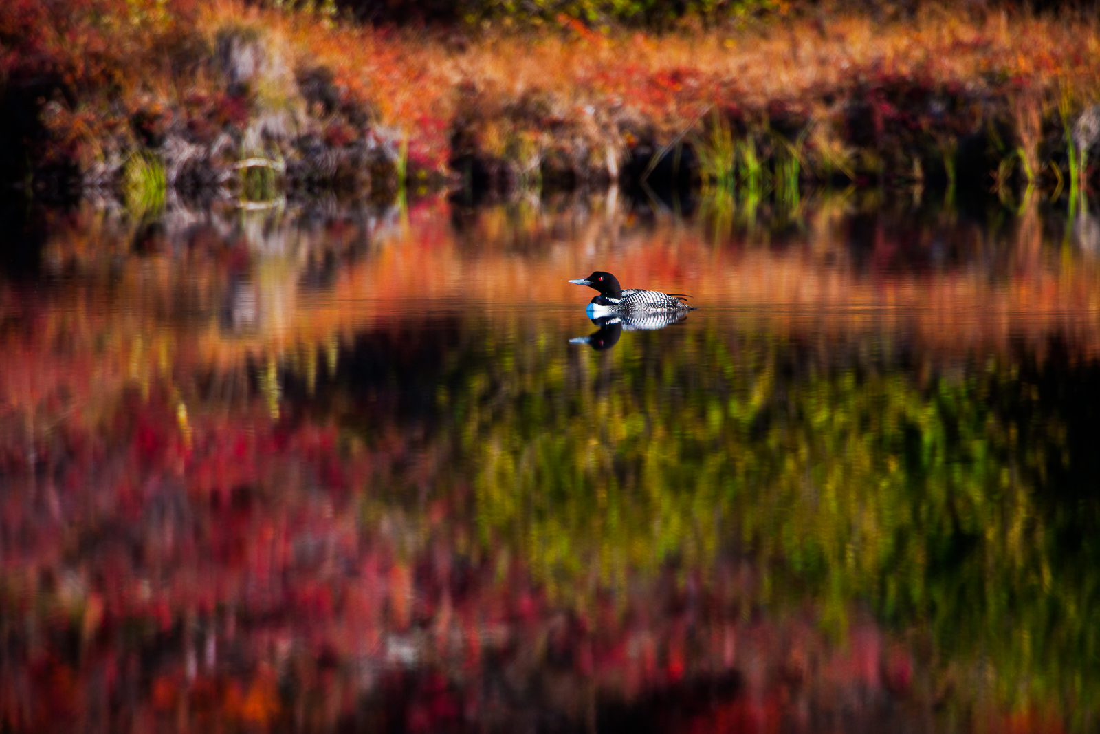 Reflecting Brilliance,Alaska,Bird,Common Loon,Fall,Pond,Wildlife, Denali National Park, photo