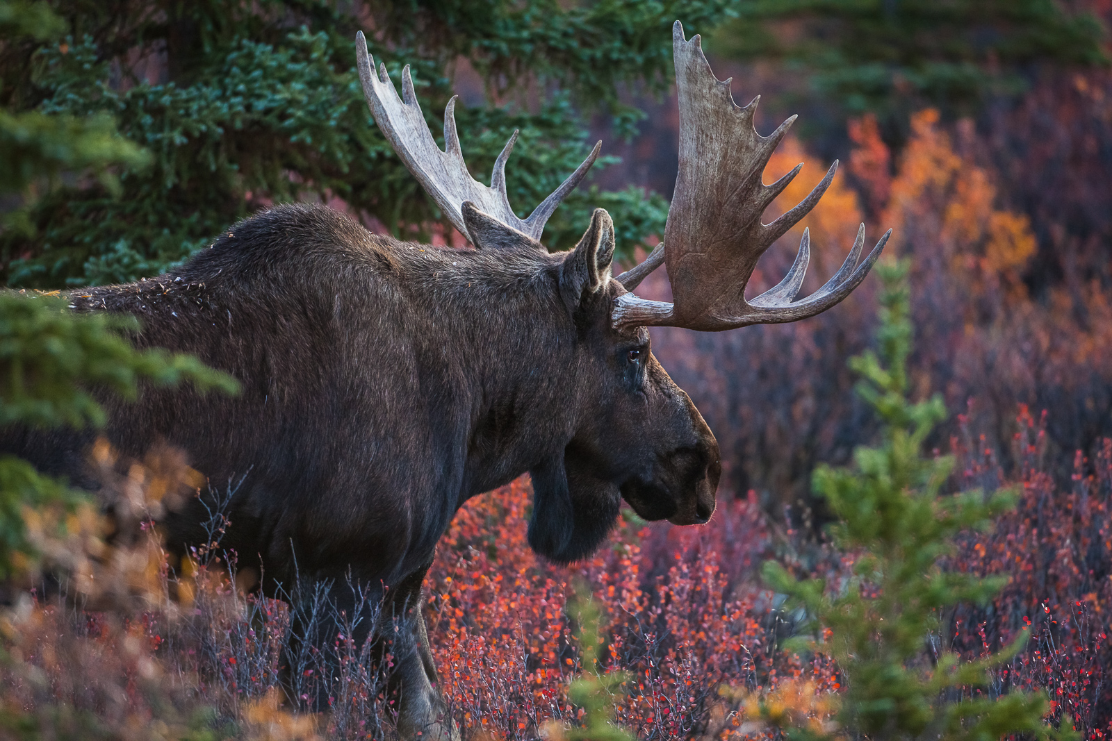 Amoung the Firs, Fall, Moose, Wildlife, Denali National Park, Alaska, Firs, Danger, Mating, photo