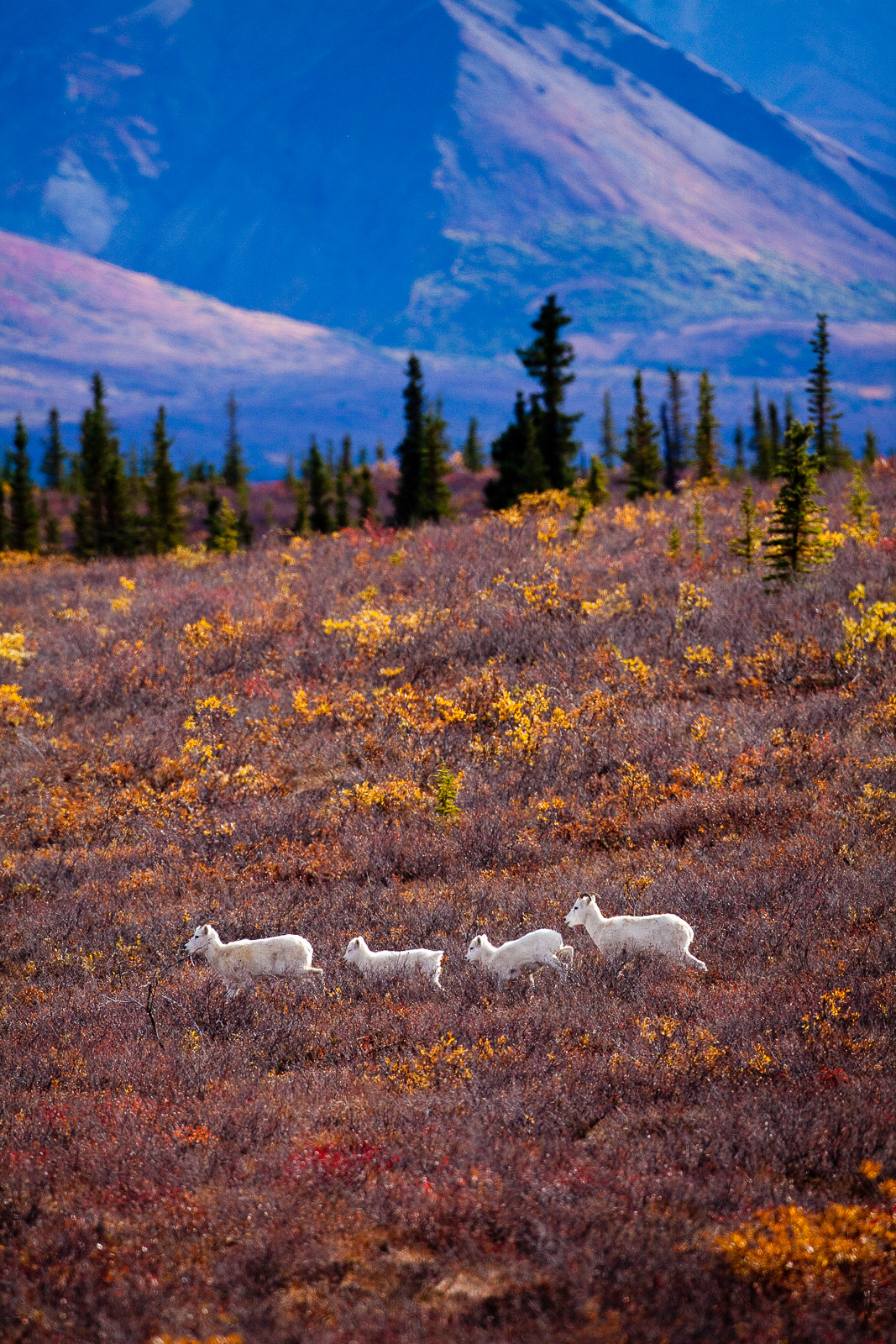 On the Run,Dall Sheep,Fall,Wildlife,Denali National Park, Alaska,vertical,dall,sheep, photo