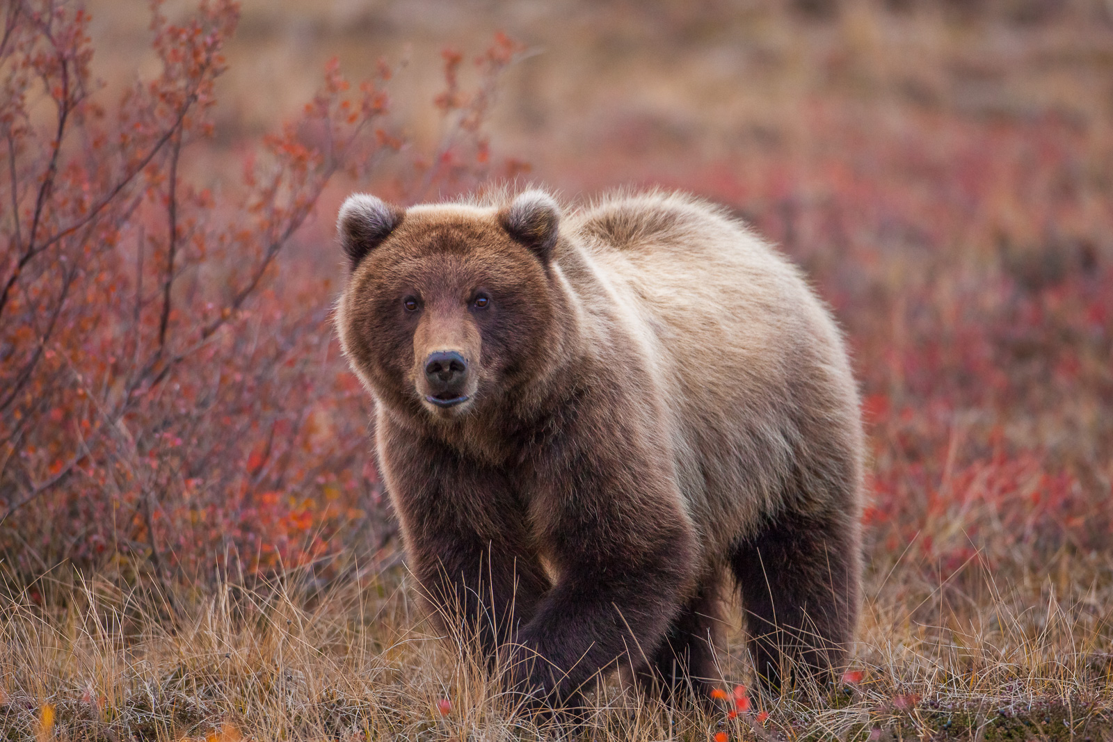 Roaming the tundra during peek autumn foliage in Denali National Park this grizzly hunts ground squirrels.