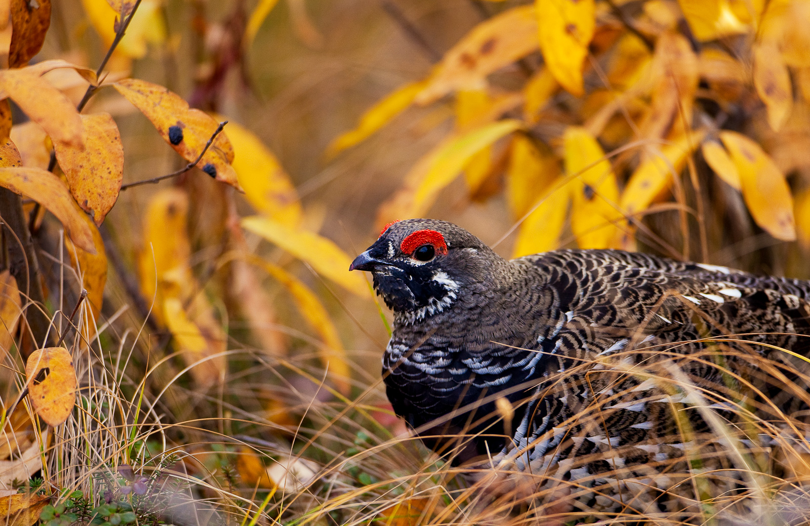 Sprucing it Up,Bird,Fall,Gallery,Spruce Grouse,Wildlife,Denali national Park,Frantic,autumn,yellow, horizontal , photo