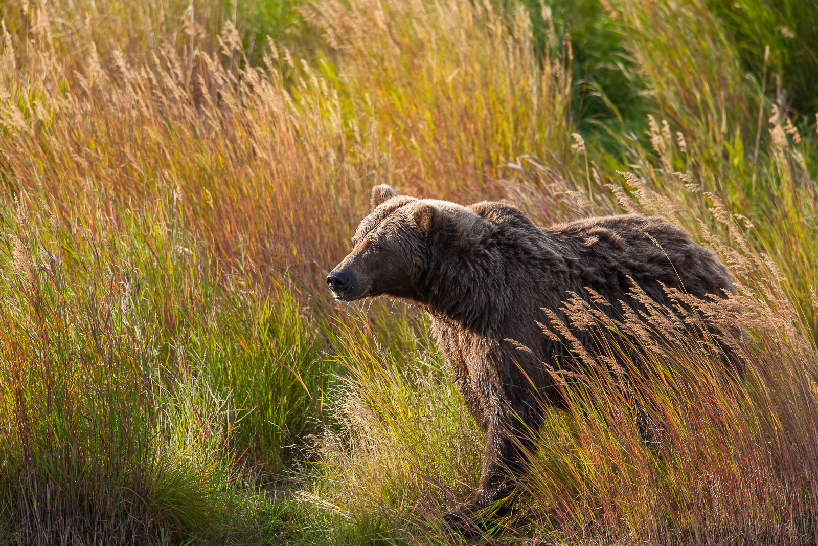 Autumn Grasses,Fall,Fishing,Grizzly,Wildlife,Autumn,Grasses,Katmai National Park,River,water,hunt,brown, horizontal, bear, photo