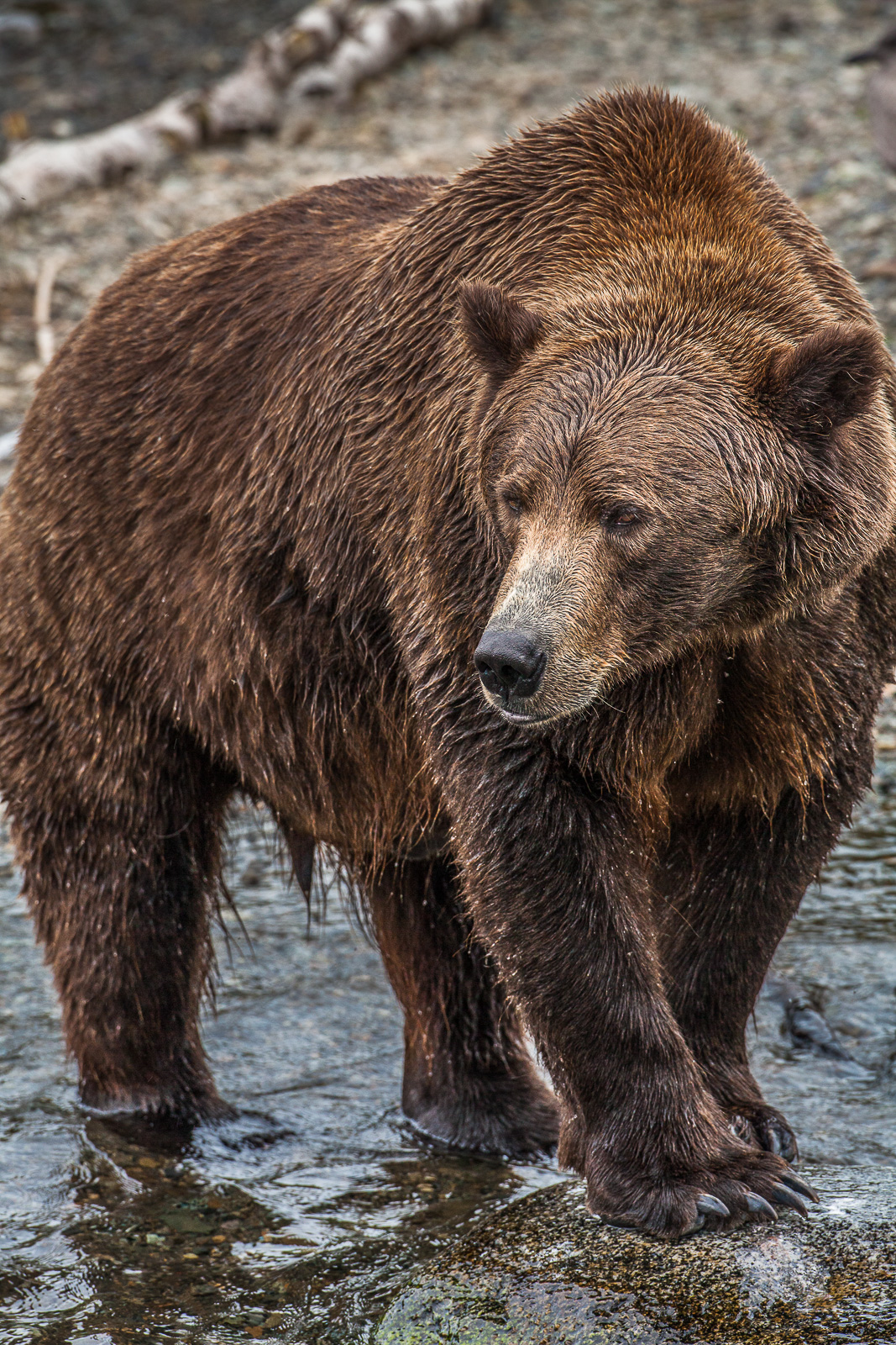 Grizzly sizes up his surroundings before while fishing along the river.   Bears can get over 2lbs a day eating large quantities...