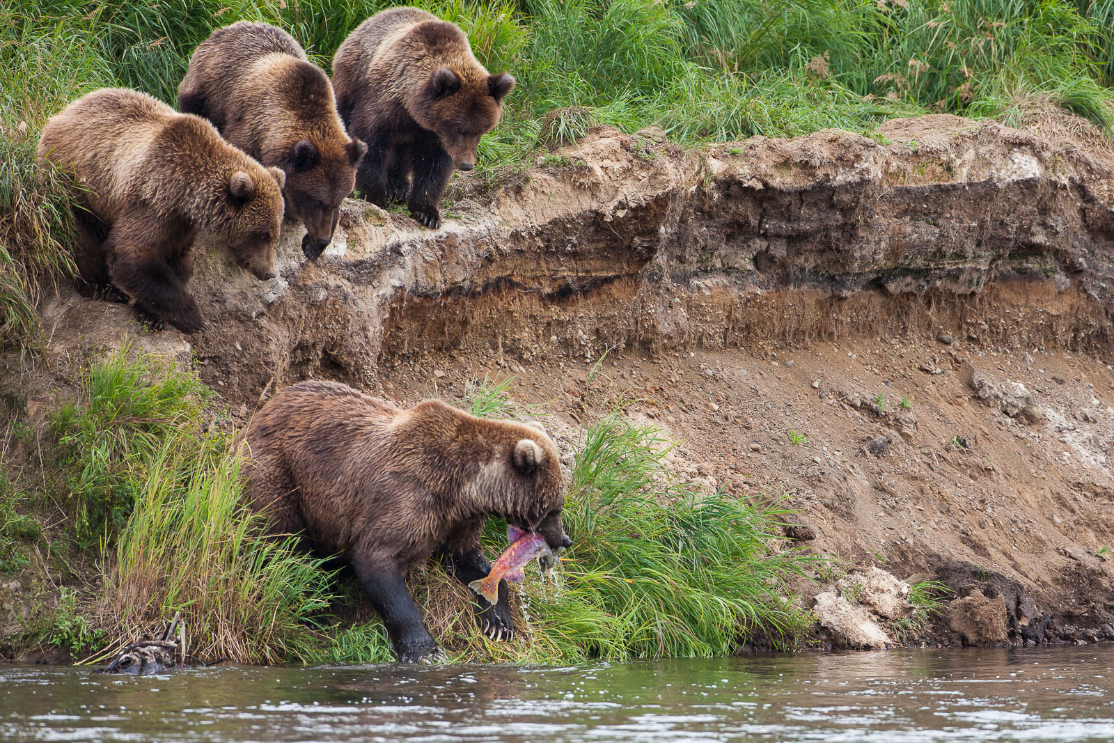 Riverside,Cub,Fall,Grizzly,Wildlife,river,water,katmai national park,trees,green,horizontal, bear, photo