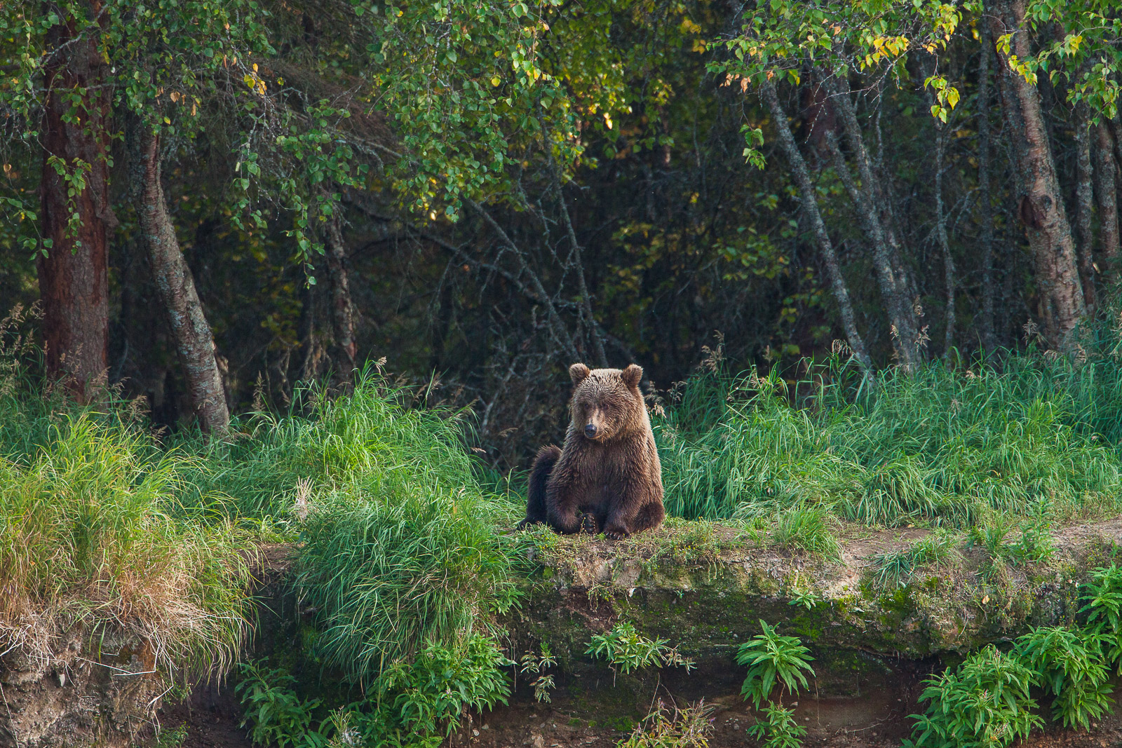 Having a Sit,Cub,Fall,Grizzly,Wildlife,river,water,katmai national park,trees,green,horizontal, bear, photo