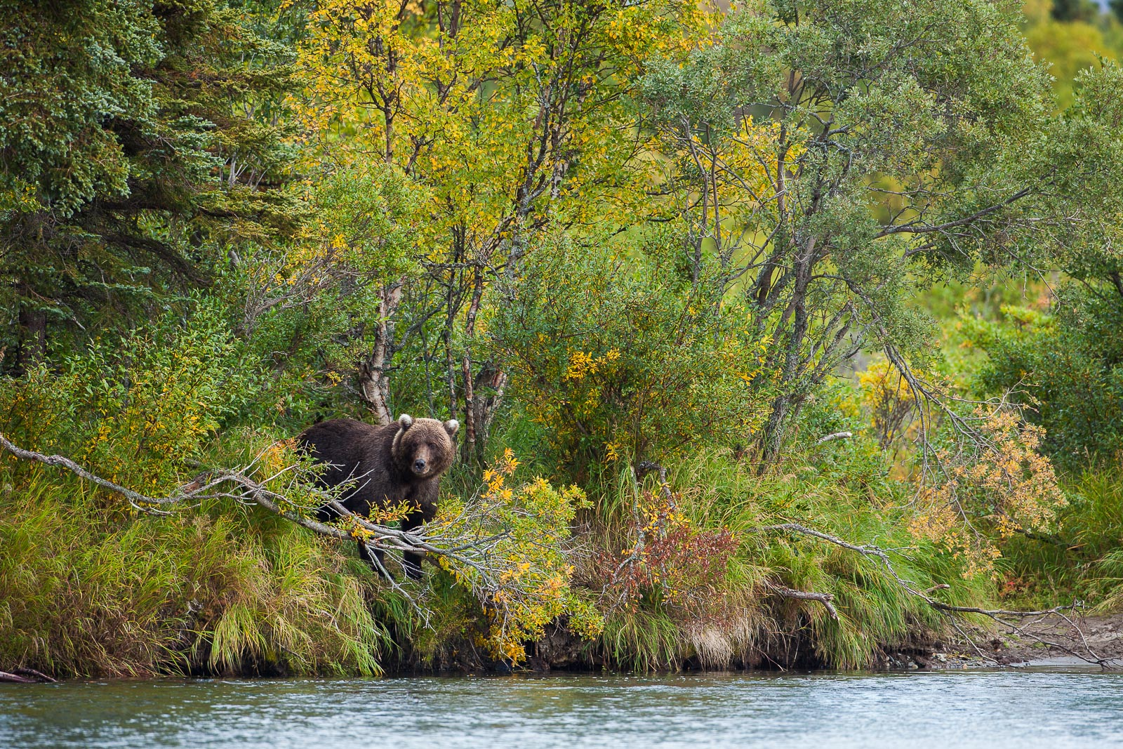 Hideaway,Fall,Grizzly,Wildlife,river,water,katmai national park,trees,green,horizontal, bear, photo