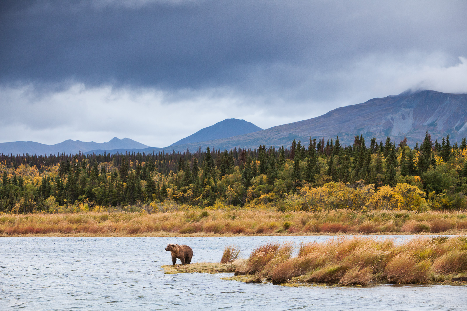 Autumn Gold,Gold,Katmai,National Park, Alaska,autumn,winter, bear, grizzly, photo