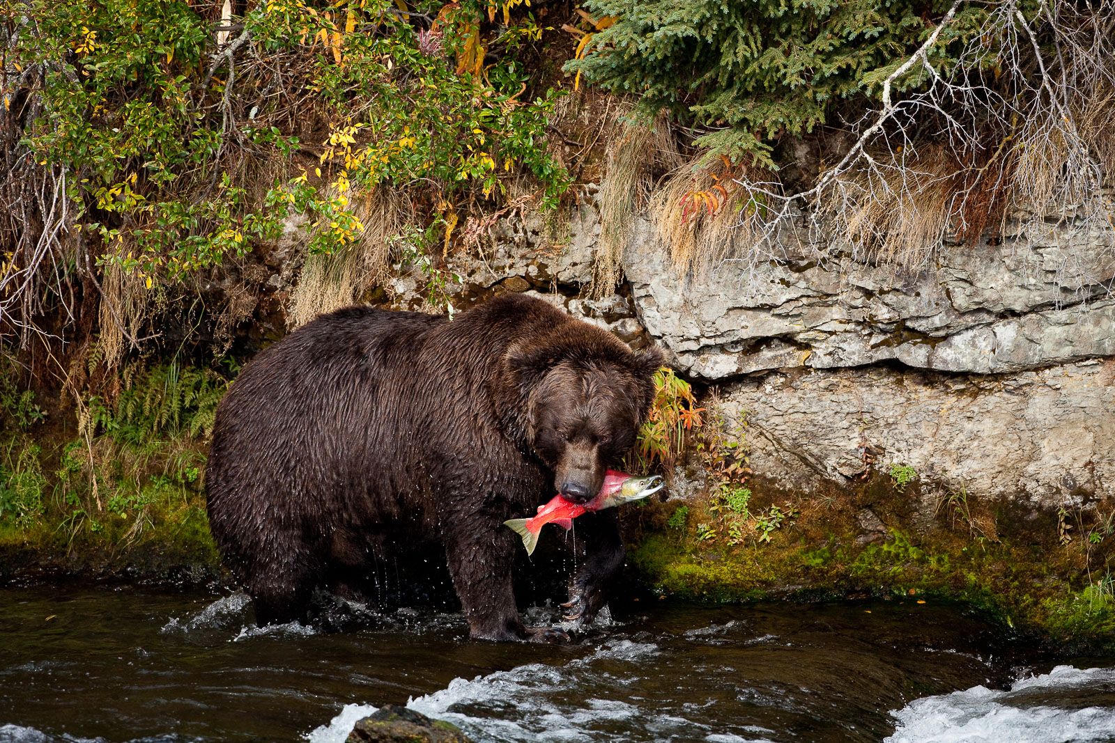 Sockeye Catch,Salmon,mouth,surviror,Wildlife,river,water,katmai national park,trees,green,horizontal, bear, grizzly, photo