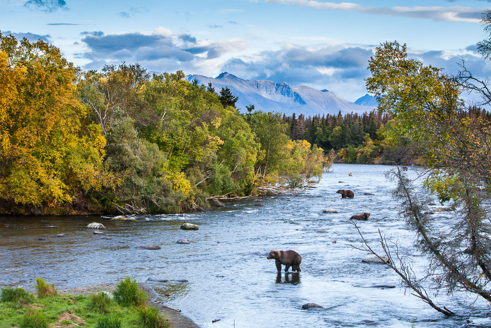 The gathering of the fishing bears keeps tight quarters in the river.  The autumn brings about a last push of the feeding frenzy...