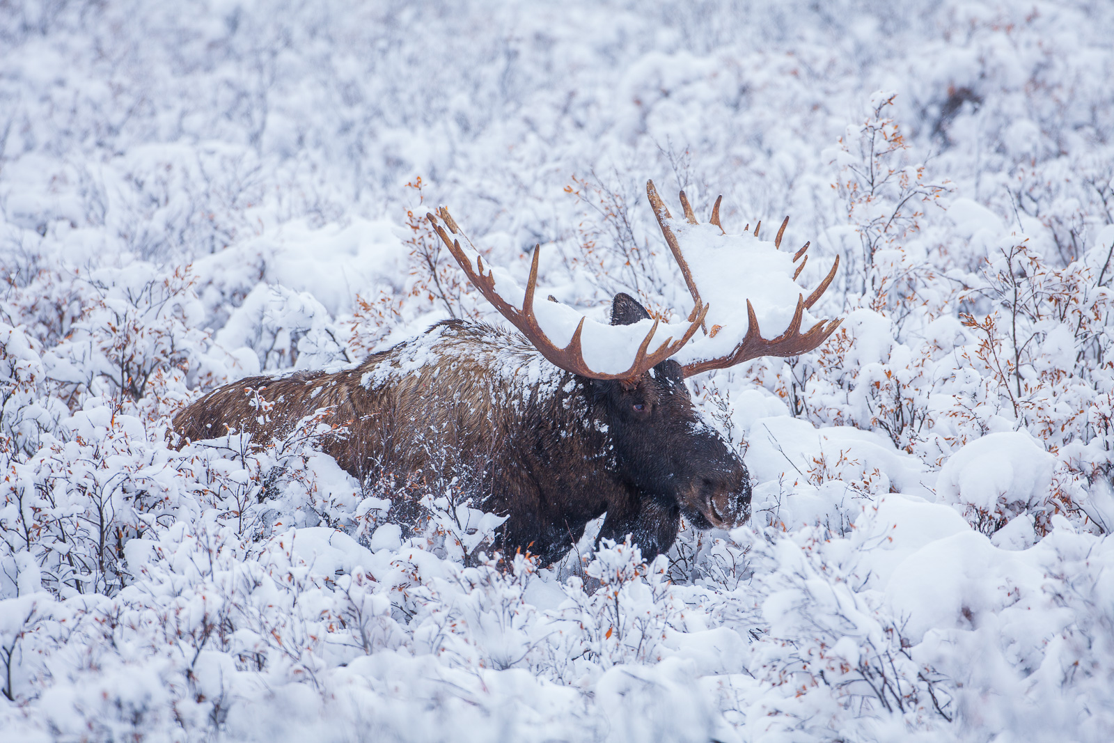 Snowplow, Fall, , Moose, Snow, , Wildlife, Denali National Park, Alaska, photo