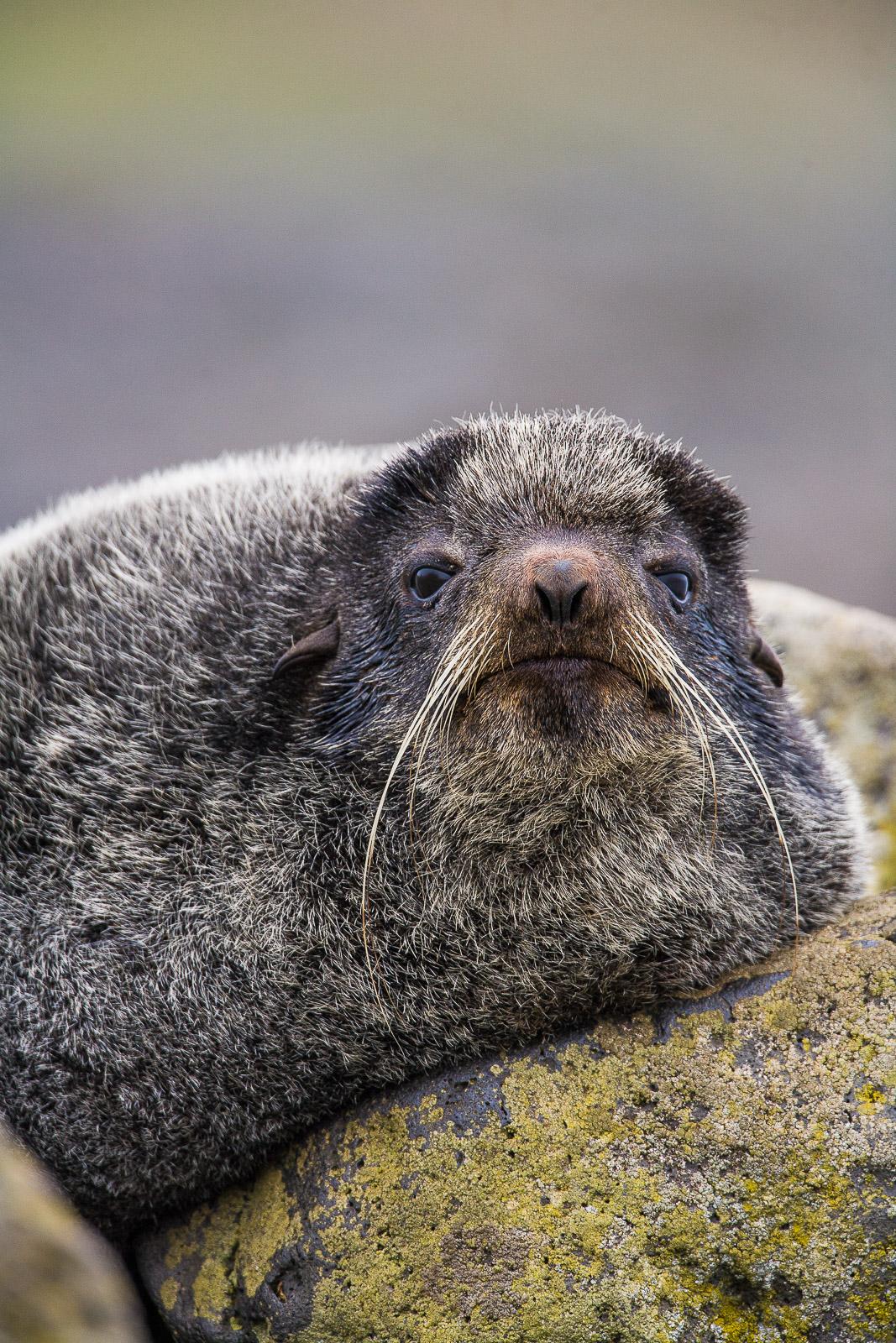 Rockin Seal,Alaska,Rockin,Saint Paul Island,  vertical,Sports,Mustache,Rock,World,Summer, photo