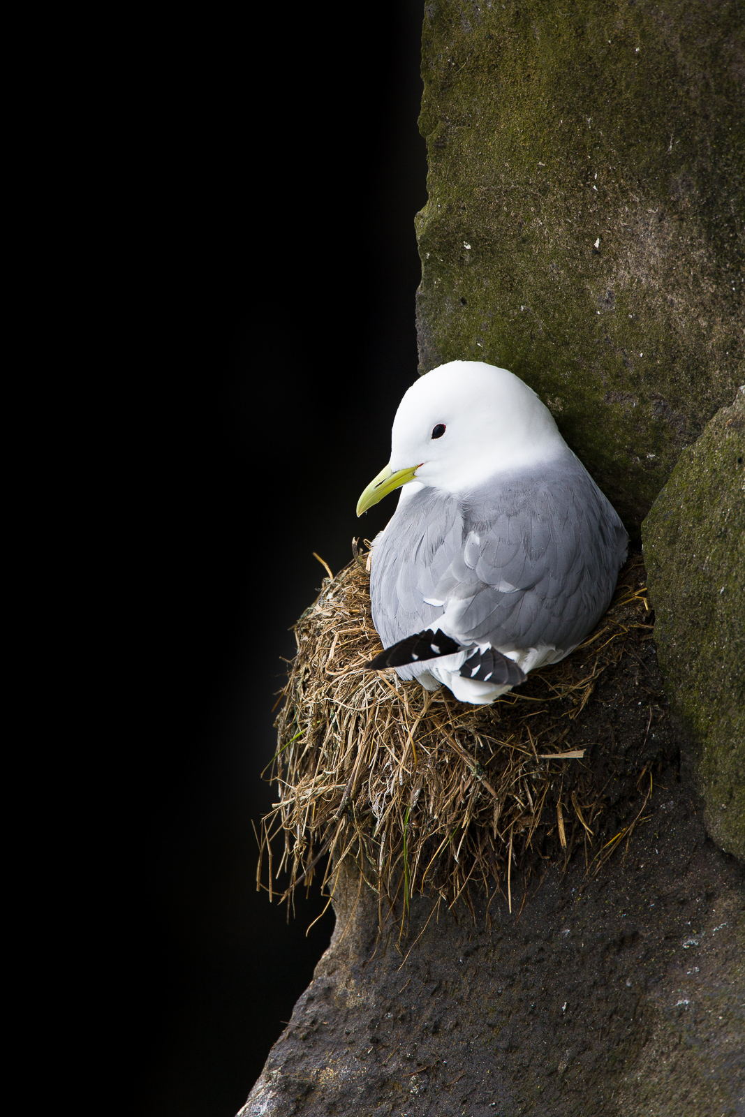 Tucked into a cleft this Black-legged Kittiwake makes a home for the arriving chicks.