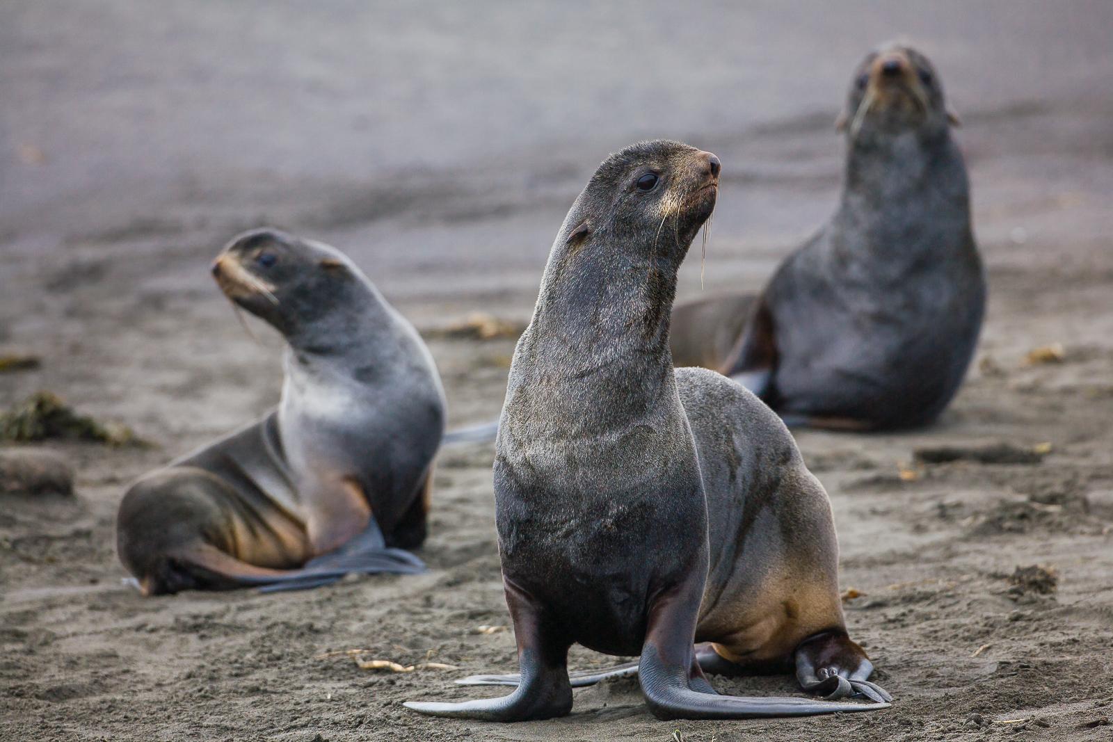 Fur Seal Trio,Saint Paul Island,  Alaska,fur,seal,island,, photo