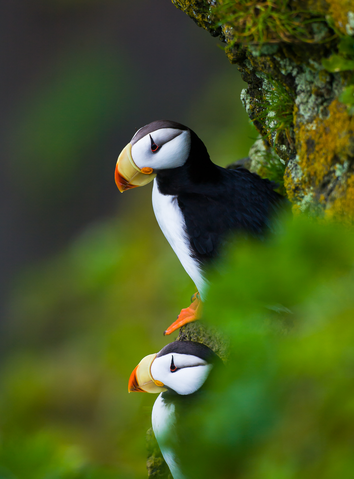 Cliff Dwellers,Alaska,Horned Puffin, Saint Paul Island,vertical,green, photo