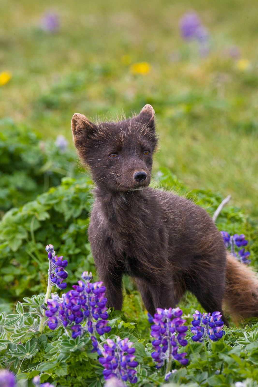 This little artic fox sports his brown suite for a day out among the spring flowers.