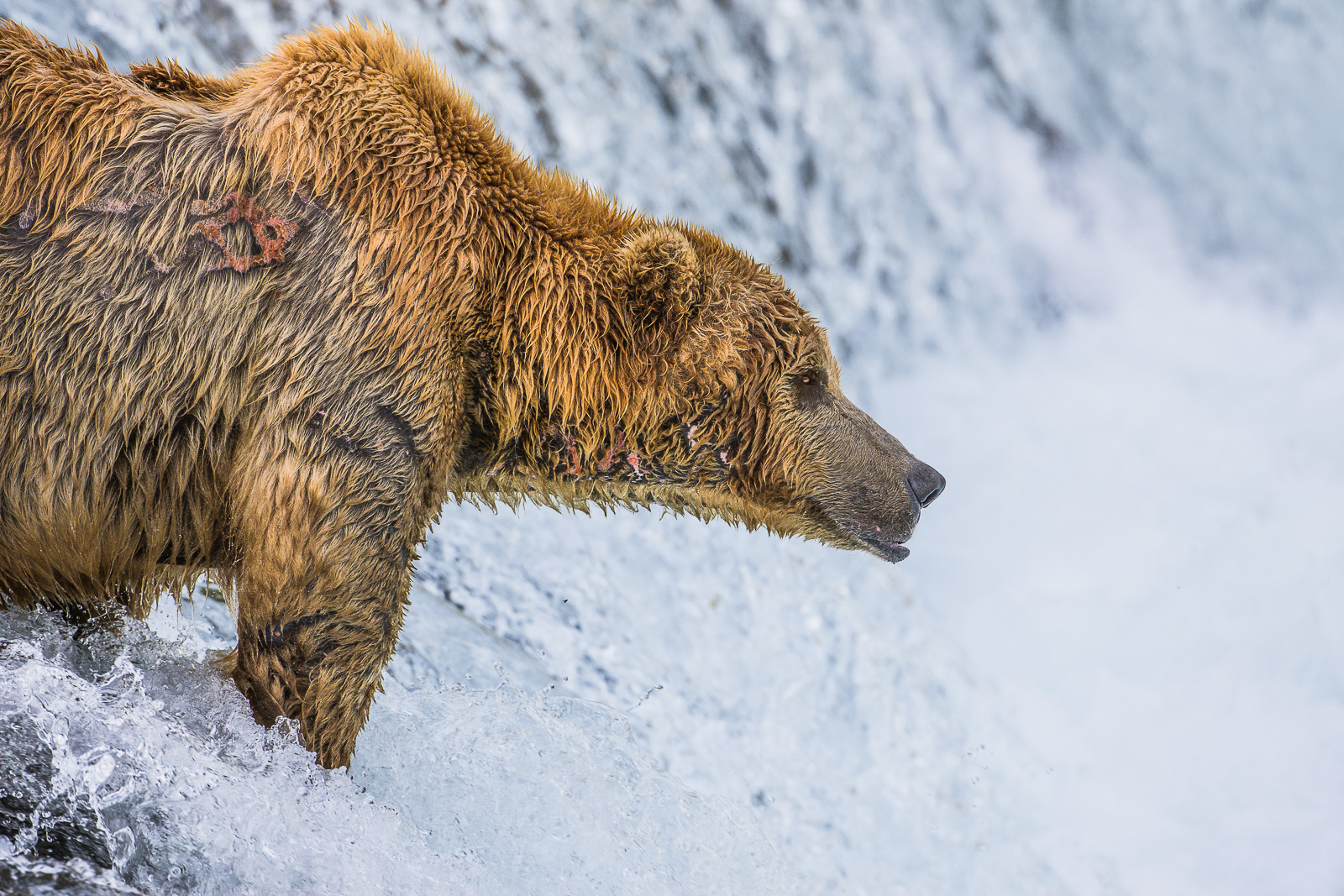Where are the Fish?,peninsula,hunt,salmon,Wildlife,river,water,katmai national park,landscape, bear, grizzly, photo