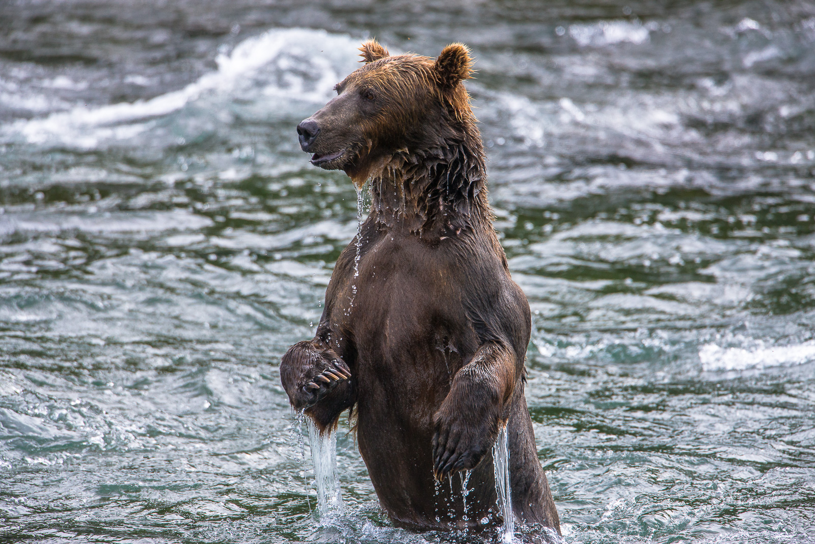 Dip and Drip,Alaska,Brooks Falls,Salmon Fishing,Katmai National Park,Grizzly,Water, bear, photo