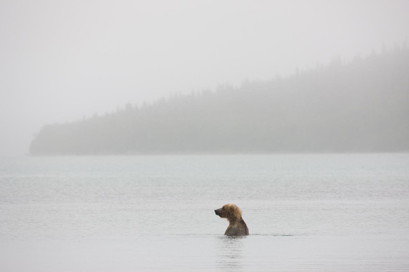 A Morning Bath,Alaska,water,swimm,katmai National park,grizzlies,horizontal, grizzly, bear, photo