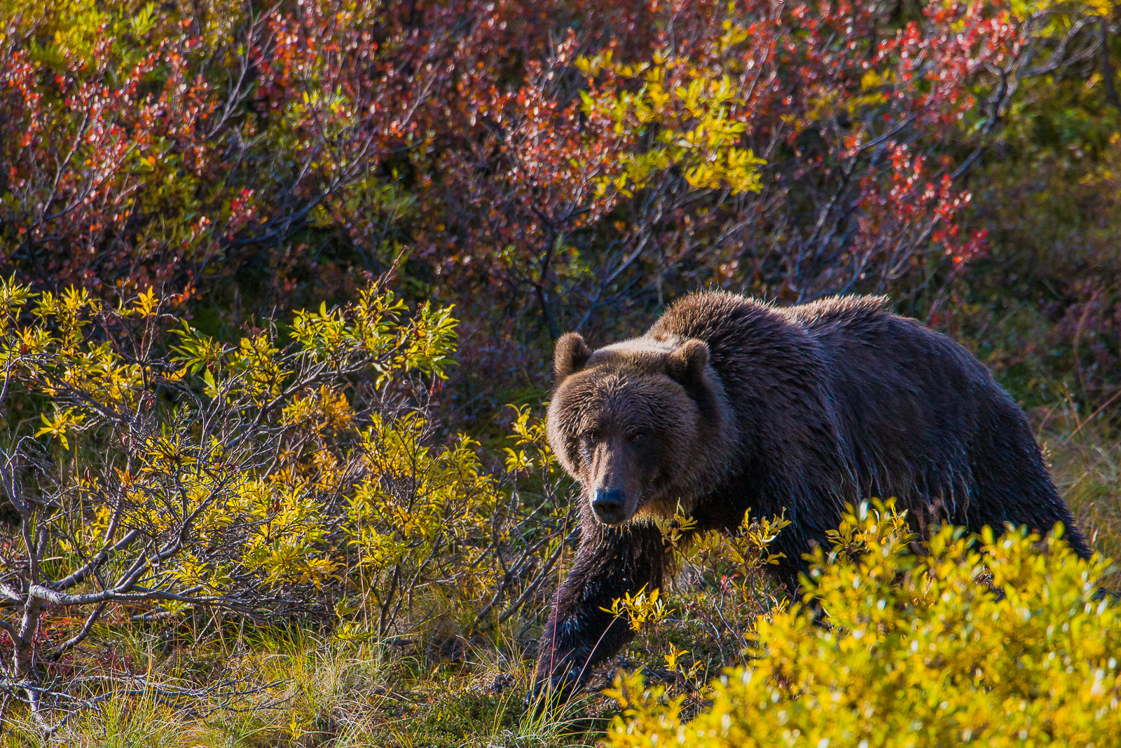 Quick and Quiet,Alaska,Tundra,Denali National  Park, autumn,brown, landscape, horizontal, bear, grizzly, photo