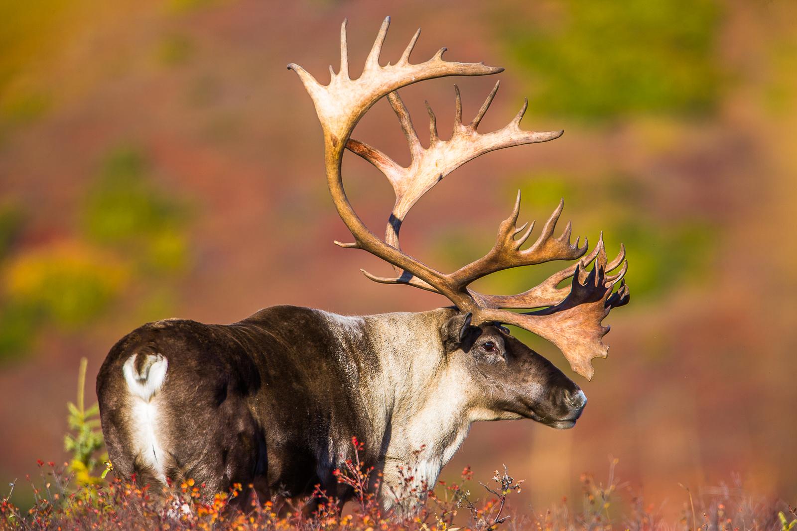 Caribou Pride,Caribou,Tundra,Denali National Park, Alaska,foliage, photo