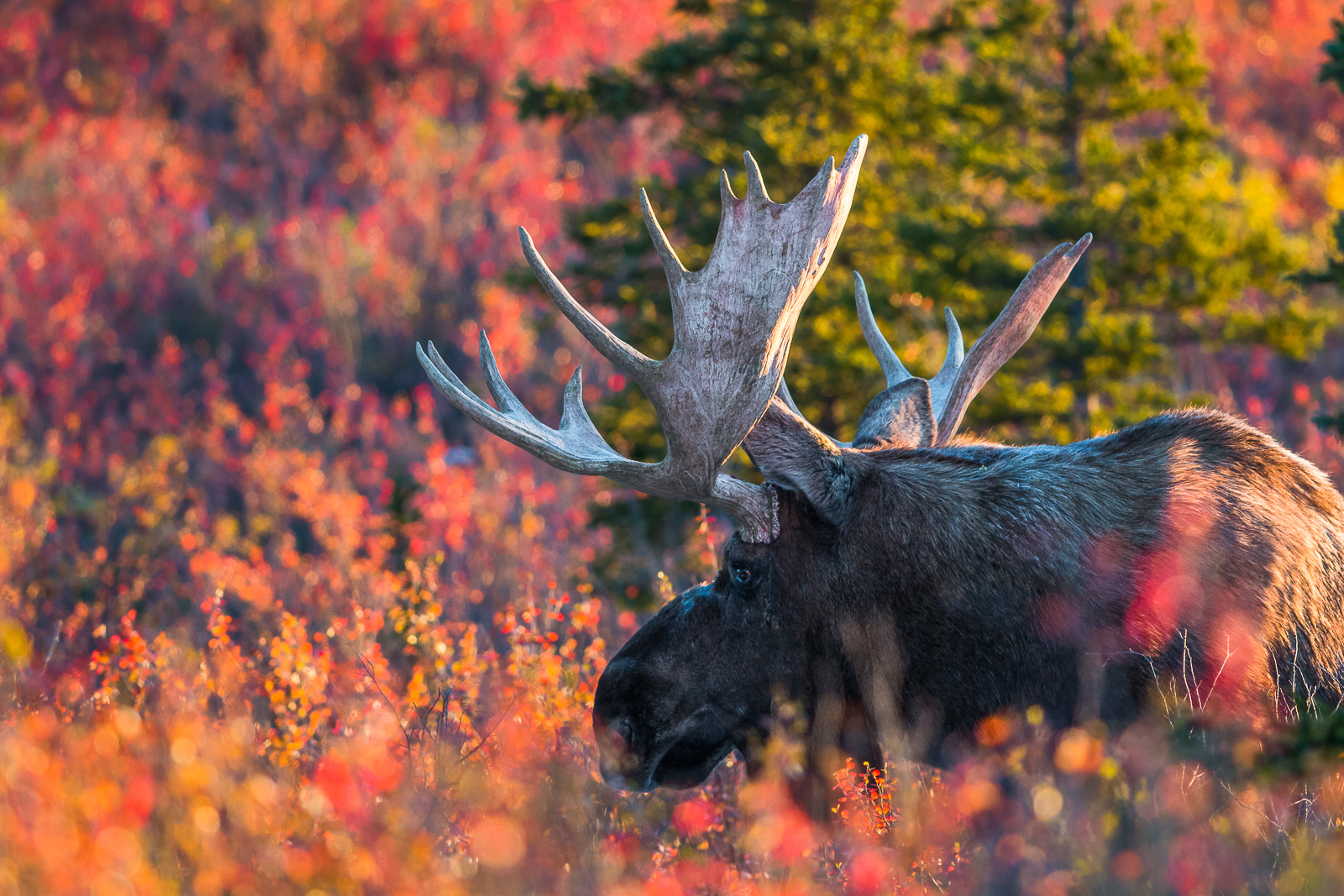 Denali National Park, Alaska, Moose, September, foliage, red, photo