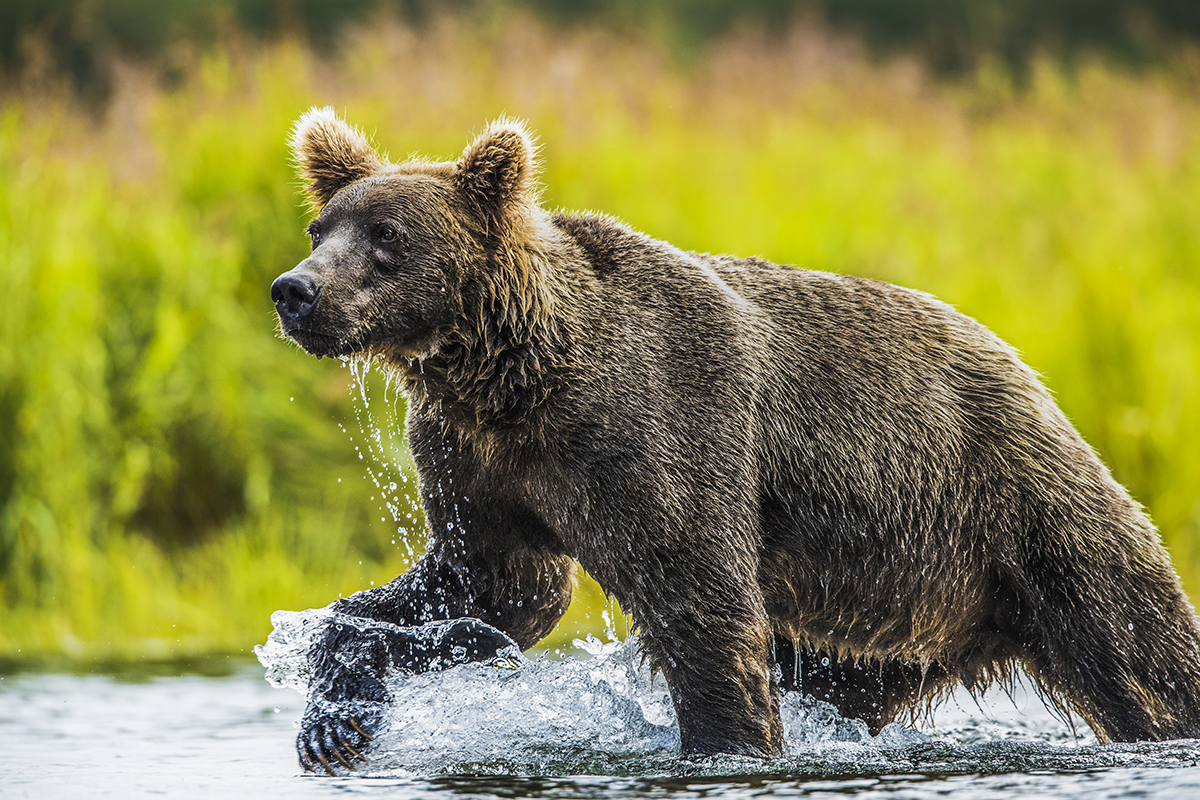 With a quick dash and a big splash the brown bears can be found in the rivers during the salmon run.  Motivated by hunger...