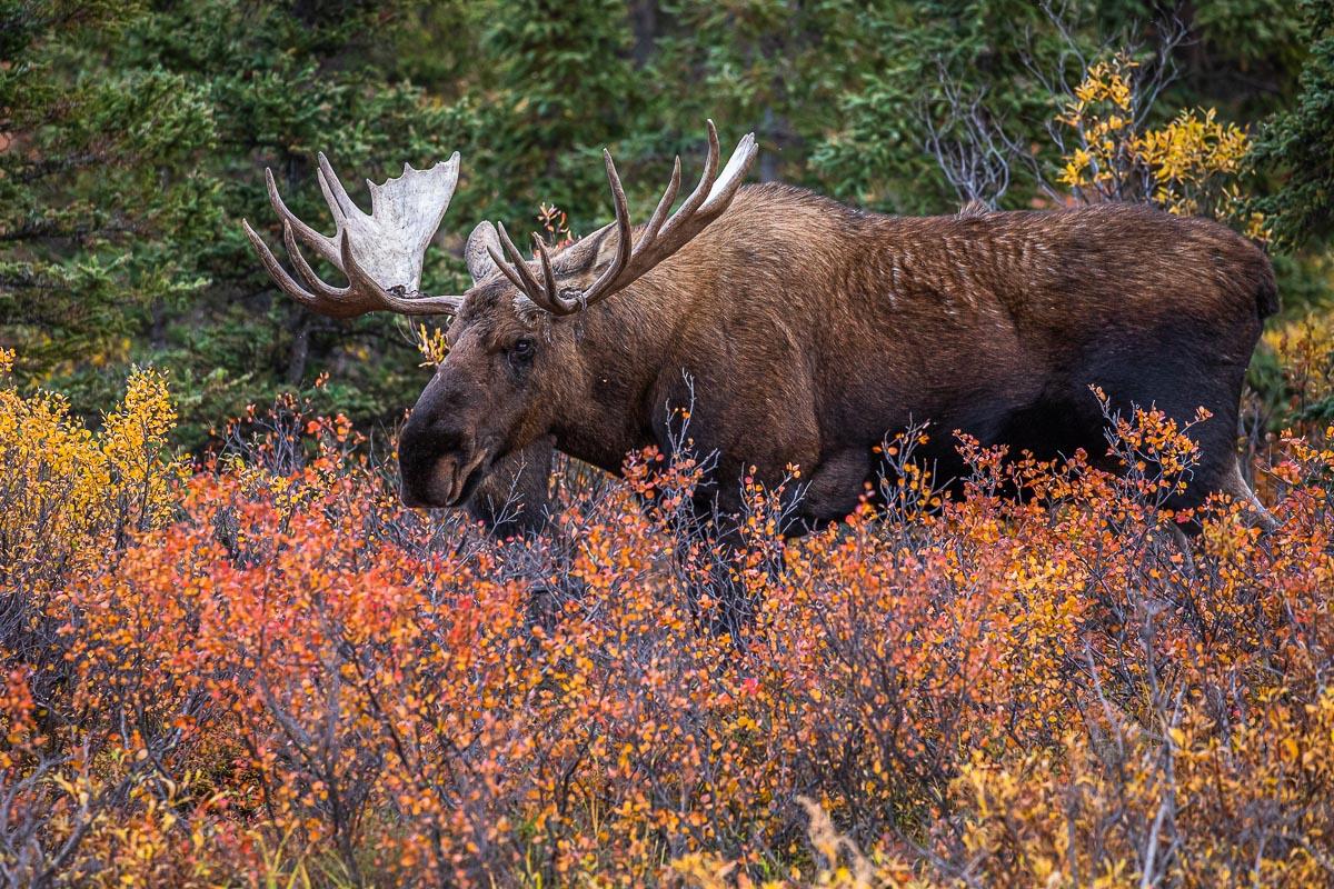 Denali National Park, Alaska, Within the Reds, moose, autumn, red, rut, photo