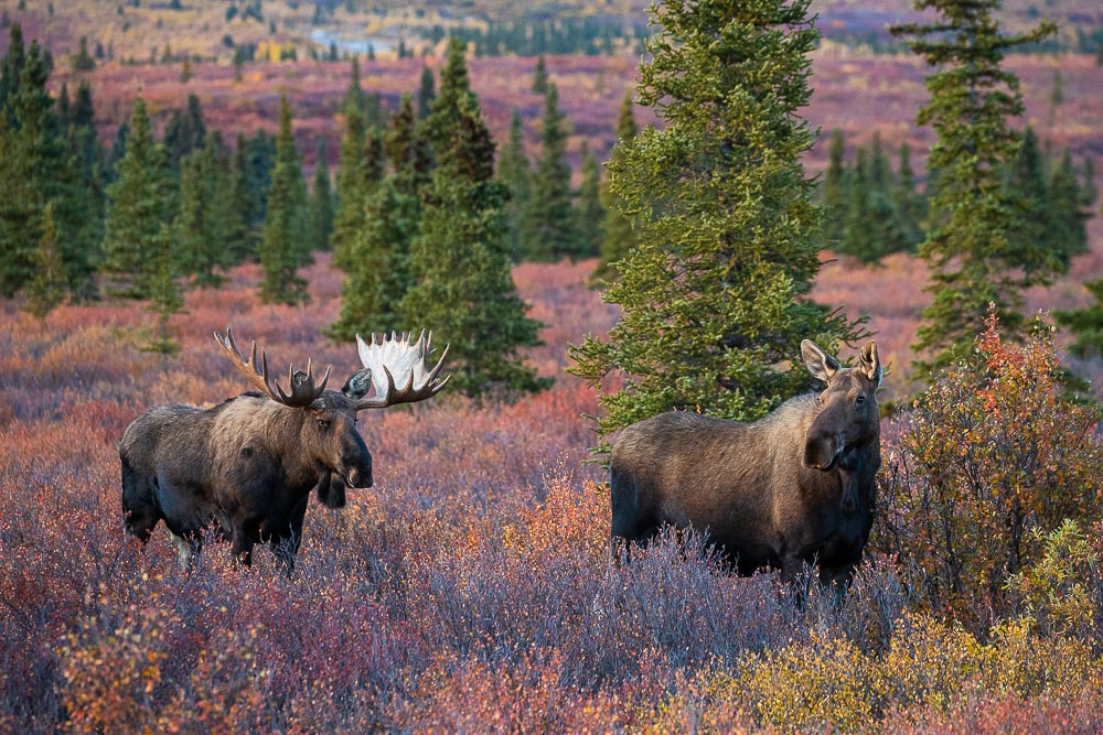 First Date, Denali National Park, Alaska, moose, autumn, rut, photo