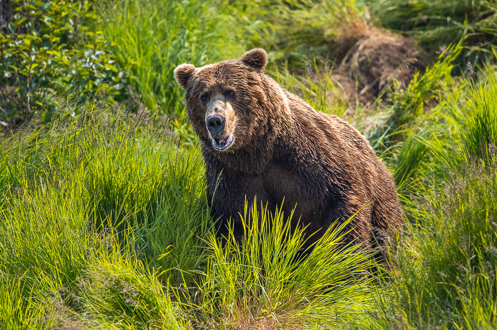 McNeil River Sanctuary, Alaska, brown bear, grizzly, wildlife, photo