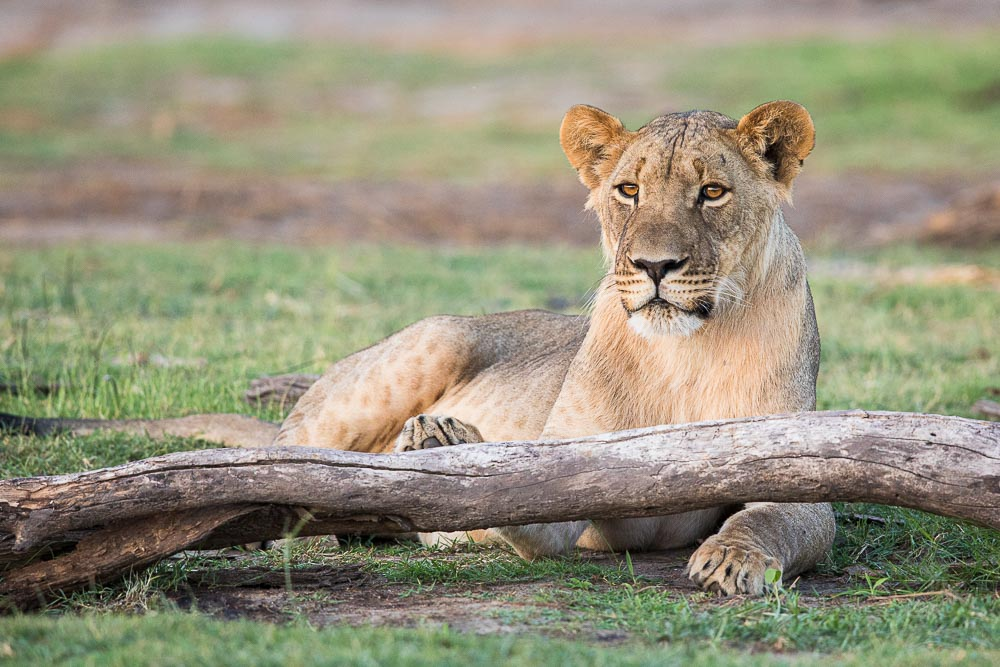 Keeping a low profile as the sun dips below the horizon a lion's relaxing posture can quickly change as the hunting advantage...