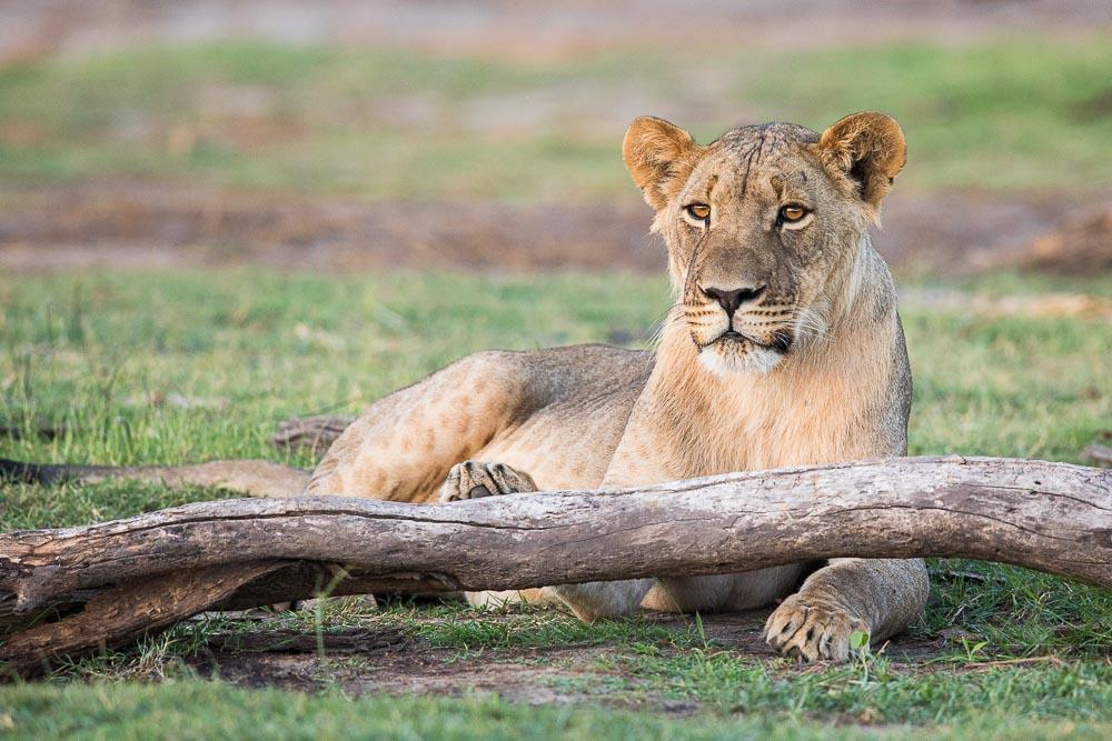 Lion, Makgadikgadi Pans National Park, Namibia, Low Profile, photo