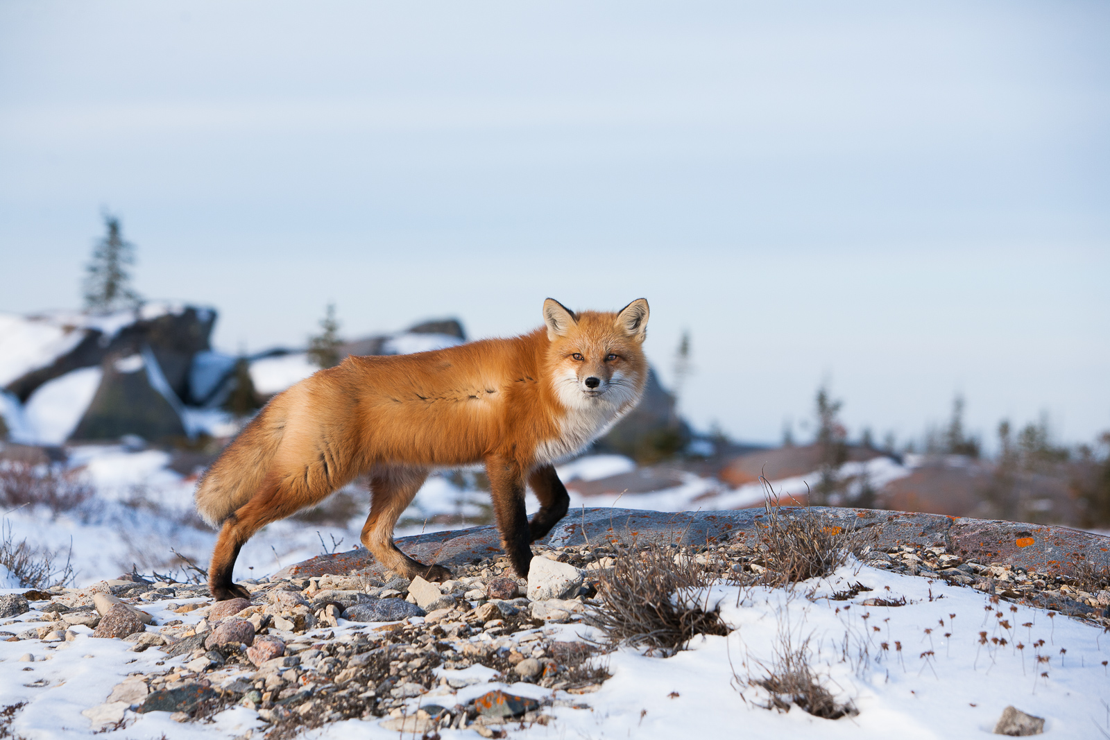 Stopped in His Tracks,Red,tail Fox,Winter,Manitoba, Canada,Glamor,Manitoba,Hunter,Horizontal, photo