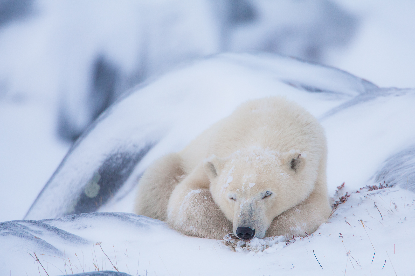 A Cozy Snooze,Fall,Polar bear,Wildlife,Winter,Yearling,Manitoba, Canada,Snooze,Rock, photo