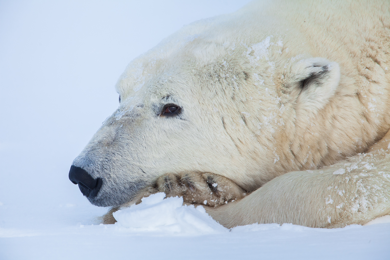Mindful Rest,Close-up,Fall,Polar bear,Wildlife,Winter,Manitoba, Canada,Snow, photo