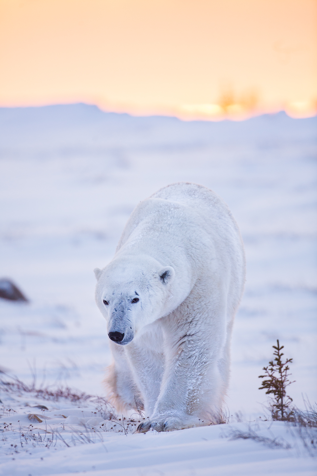 Warrior,Fall,Polar bear,Sunset,Wildlife,Winter, photo