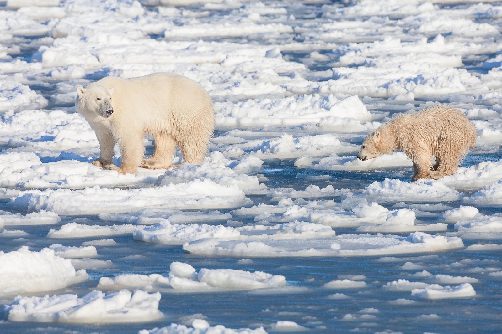 Learning Curve,Polar bear,Winter,cubs, Manitoba Canada, Learning Curve, photo
