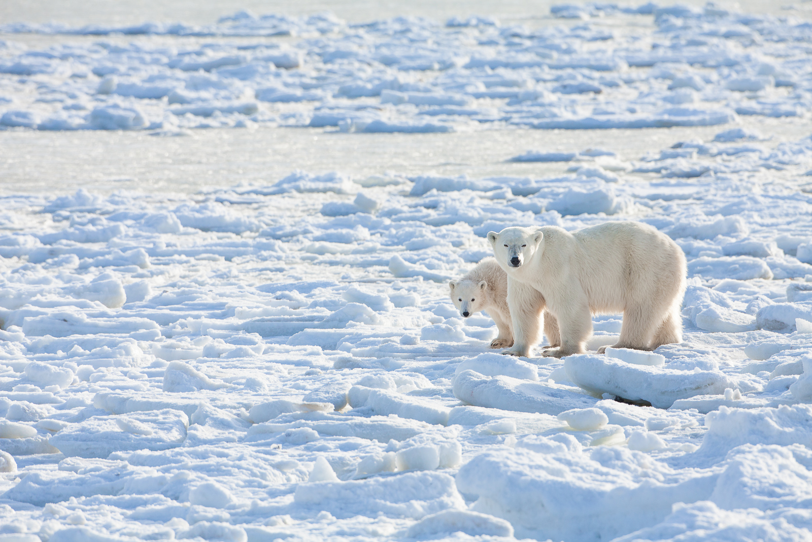 Mother walks her young out along the ice chunks left by the low tide.